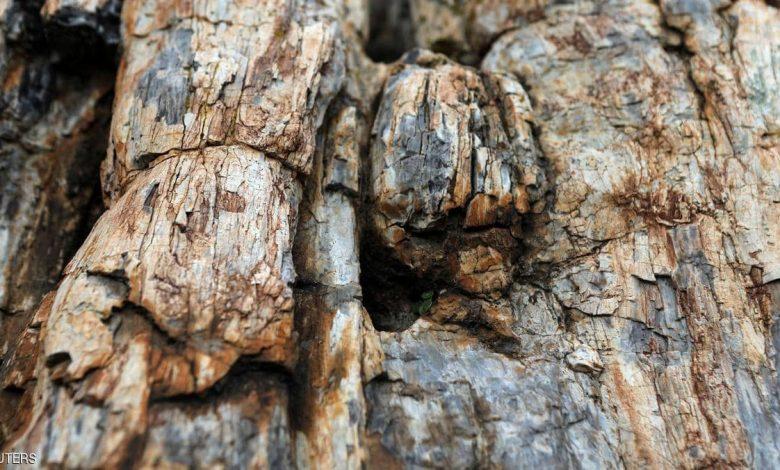 صورة شجرة عمرها 20 مليون عام